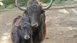 Portrait of yaks (bos mutus) Live Action