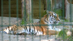 The Siberian tiger (Panthera tigris altaica). Wild… Stock Video Footage
