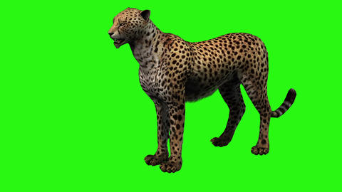 Cheetah start running on green screen Animation
