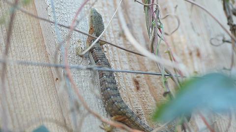 Lizard on fence Footage