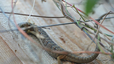 Lizard on sun-dappled fence Footage
