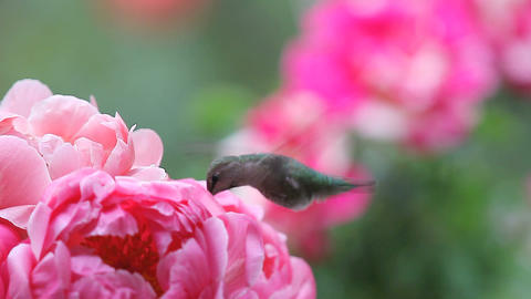 Female hummingbird with spring peonies Footage