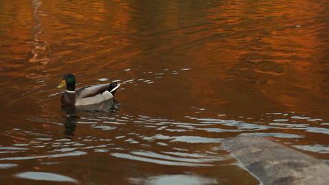 wild ducks on the lake in the autumn Footage