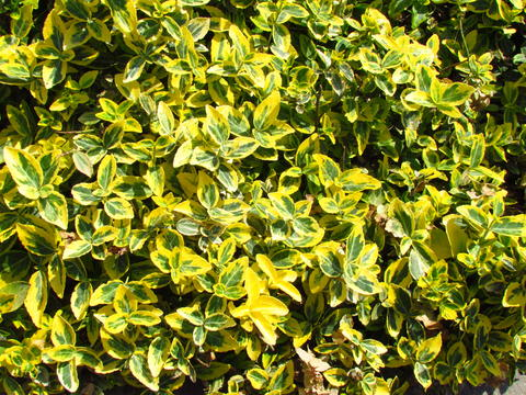 Euonymus, popural ornamental garden plant with yellow and green colored leaves Photo