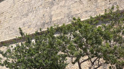 Malta Valletta foliage of treetops in front of high city wall GIF