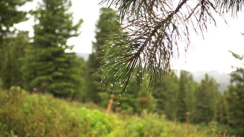 Water drop on needles. Macro of rain drop Live Action