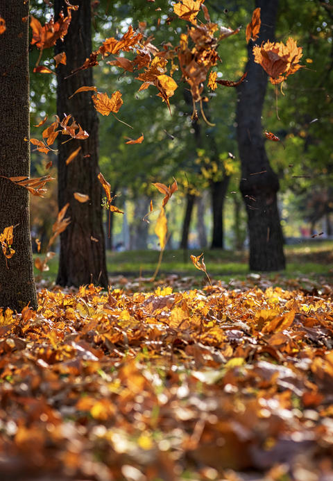 Falling dry maple leaves in autumn park Fotografía