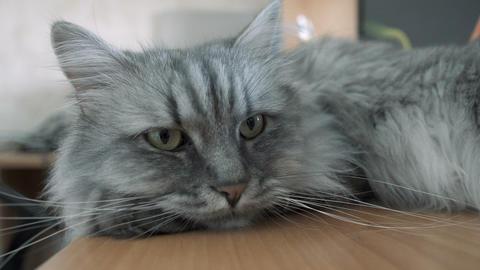 Gray fluffy cat resting on the table Footage
