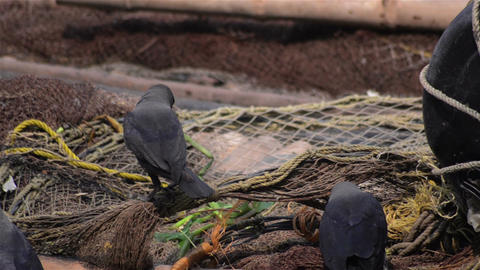 Mid close of crows sitting over fishing net for fish Footage
