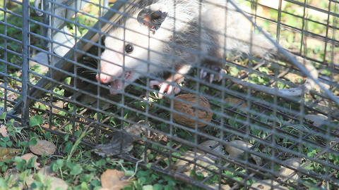 Young possum in trap Footage