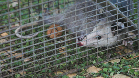 Small possum in animal trap Live Action