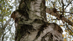 Close-up of A Birch Tree Trunk, Selected Focus Photo