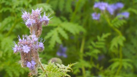 Purple flowers of Phacelia Stock Video Footage