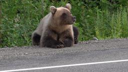 Hungry Kamchatka brown bear lies on roadside of asphalt road Footage