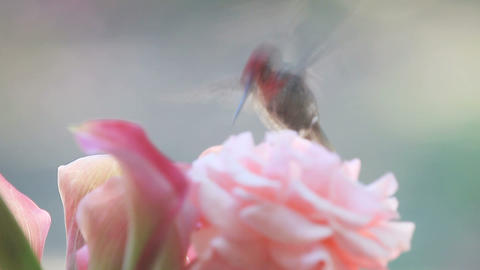 Hummingbird with pink rose and calla lilies Footage