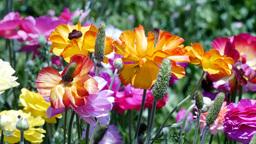 Ranunculus flower blooms Footage