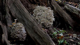 Medicinal mushroom Hen of the woods. Maitake polypore mushroom immune system Footage
