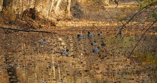 Autumn, wild ducks swimming in the pond Footage