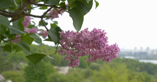 Amazing lilac flower close up Live Action