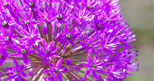 Purple Allium Flowers Footage