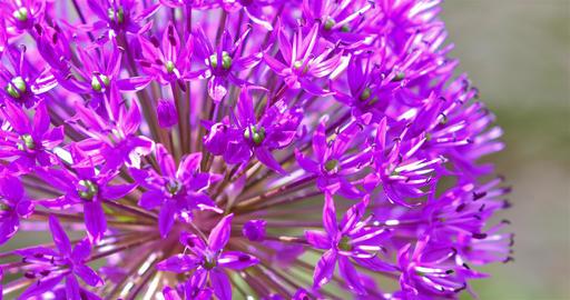 Purple Allium Flowers Footage