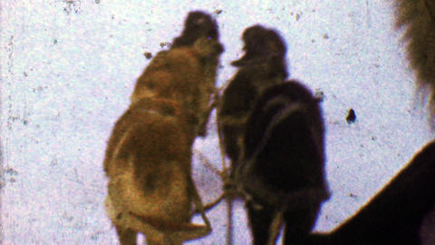 1957: Sled dogs pulling hard on cold snowy winter landscape Footage