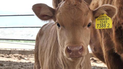 Korean beef (little calf) Footage
