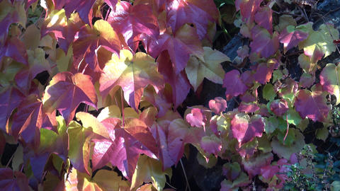 Parthenocissus tricuspidata on a ancient brick wall Footage