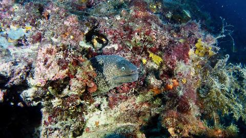Marine wildlife underwater - Moray eel in a reef - Scuba diving in Spain Live Action