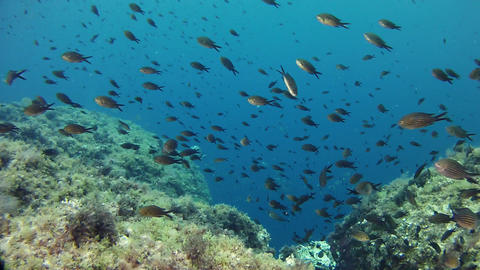 Underwater landscape with damselfishes in a reef - Mediterranean sea life Footage