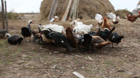 Ducks geese and muscovy ducks eat pumpkin in poultry Live Action