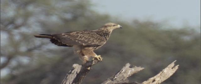 Tawny Eagle Live Action