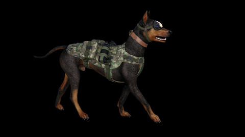 military bloodhound Dog is Going, loop, animation, transparent background Footage
