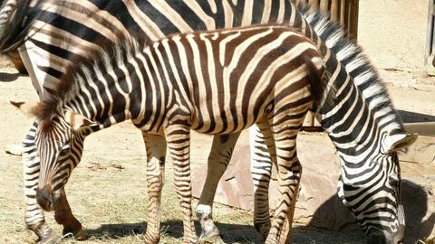 Chapman's zebras (Equus quagga chapmani) Footage