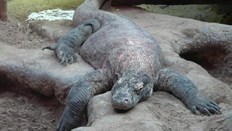 Komodo dragon, Varanus komodoensis sleeping Live Action