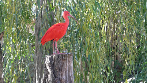 Eudocimus ruber. Bright red bird Scarlet Ibis Live Action