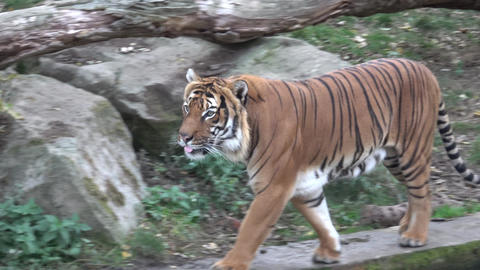 The Malayan tiger (Panthera tigris jacksoni) Stock Video Footage