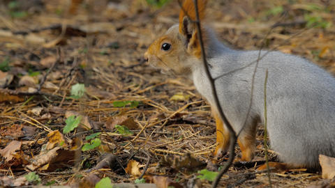 Squirrel in autumn forest Footage
