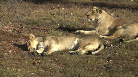 Two Lioness lying down in grass. Two lioness resting after their afternoon Live Action