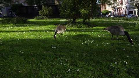 Geese Eating Grass on Green Lawn, City Ecosystem Concept GIF