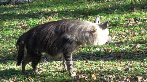 Brown Hyena (Parahyaena brunnea) walking Footage