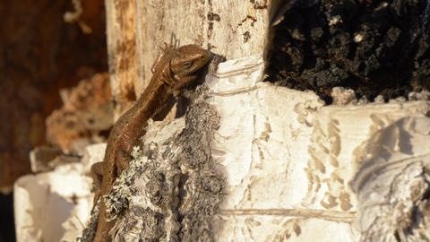 Viviparous lizard resting on rotten birch Live Action