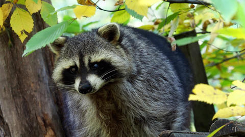 Raccoon (Procyon lotor) and autumn leaves in background. Also known as the North Live Action