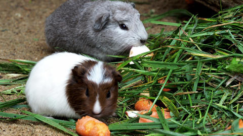 Guinea pig eats carrot (Cavia aperea f. porcellus) Footage