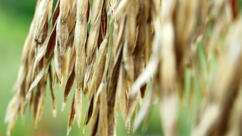 Stalks of dry grass in a field at green grass background Footage