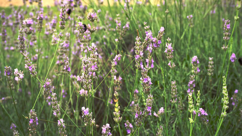 Lavender field with bees Footage
