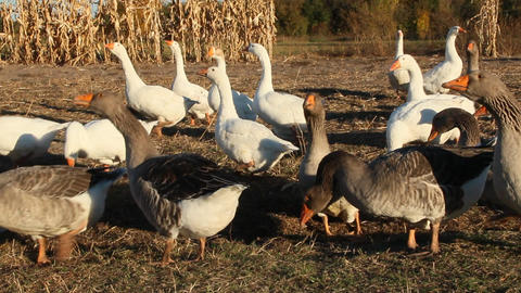 Geese go in poultry yard. Domestic birds. Poultry feeding on farm Live Action