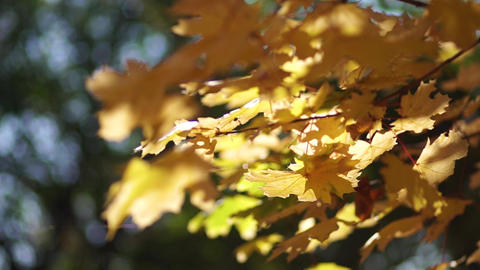 Yellow foliage in the park on maple trees ライブ動画