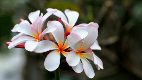 Amazing view of colorful White Plumeria flowering in the garden landscape under Photo