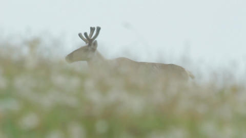 Siberian Northern Forest Deer Stock Video Footage